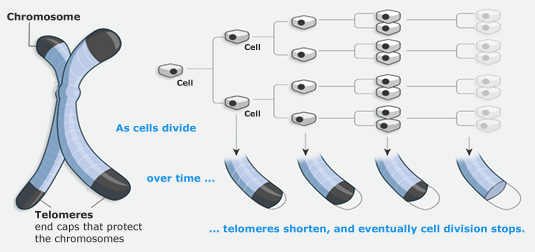 Telomerase Activation chromosomes